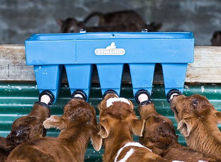 Effective calf rearing and the benefits of teat feeding systems