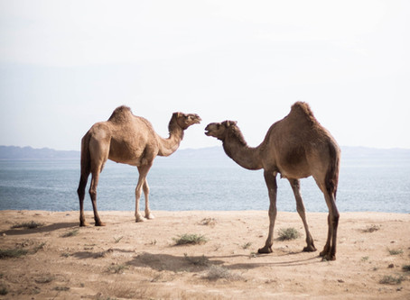 Camel Milk: The Dairy You Didn't Know You Needed