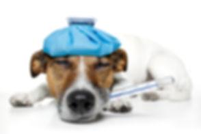 sick dog with a ice bag.jpg