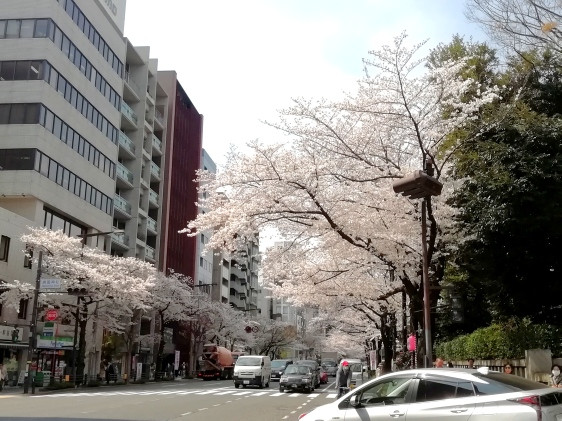 桜満開2019