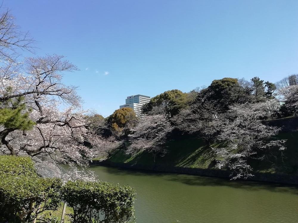 星空散歩治療院 桜満開2020