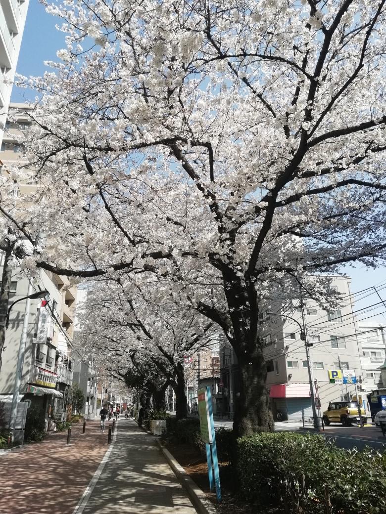千川通りの桜並木 2018/3/25