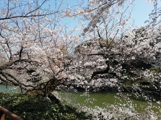 桜満開2020