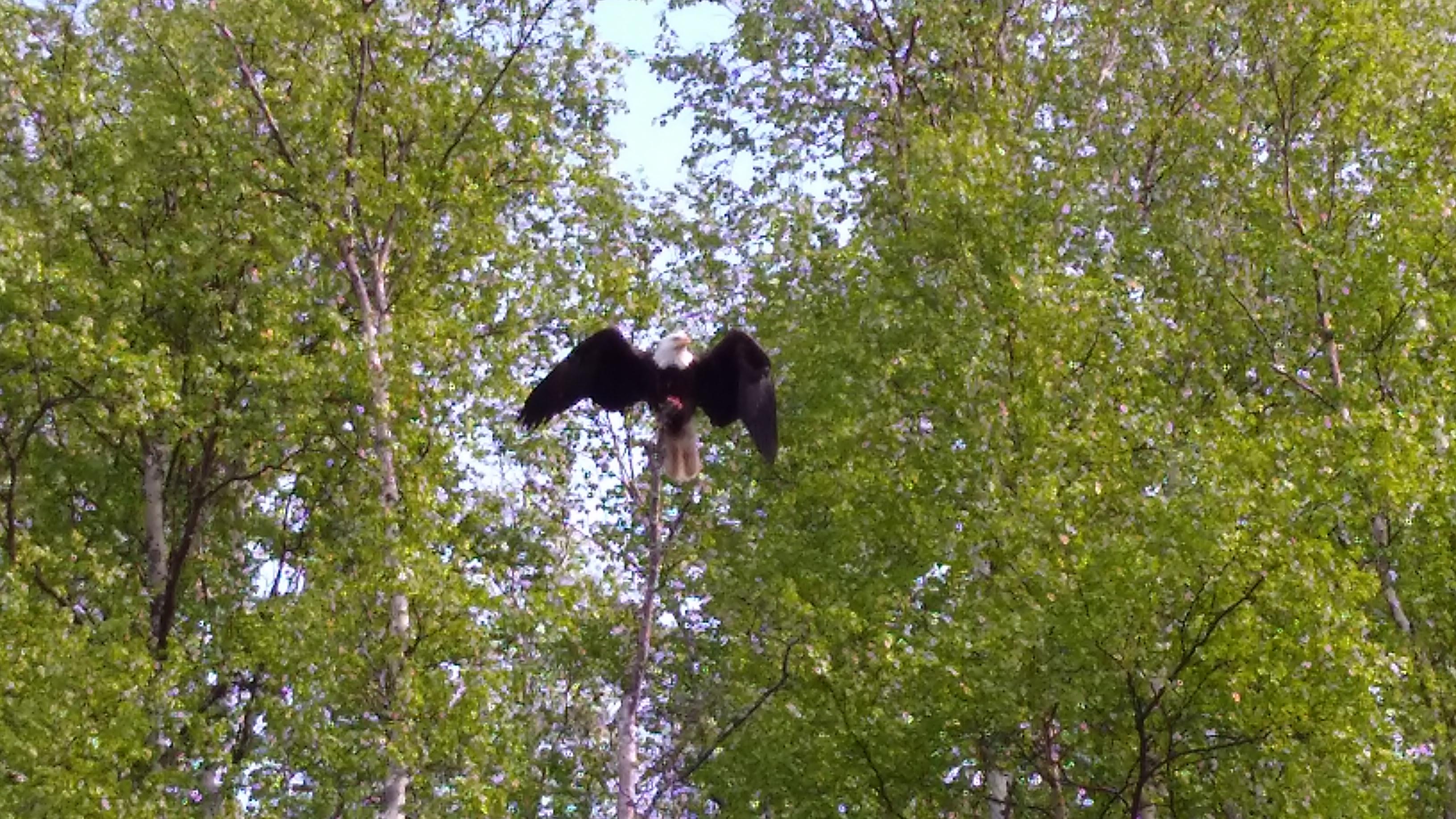 Eagle at Geskakmina