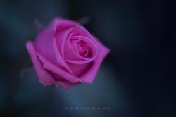 Fragrance of Roses