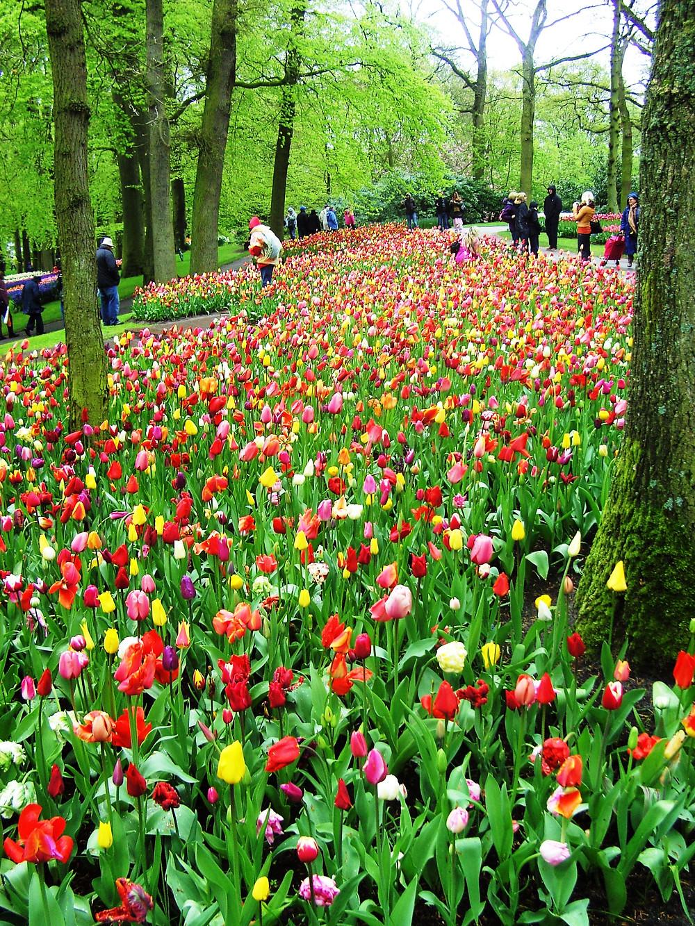 Mass planting of tulips at Keukenhof Gardens, Netherlands