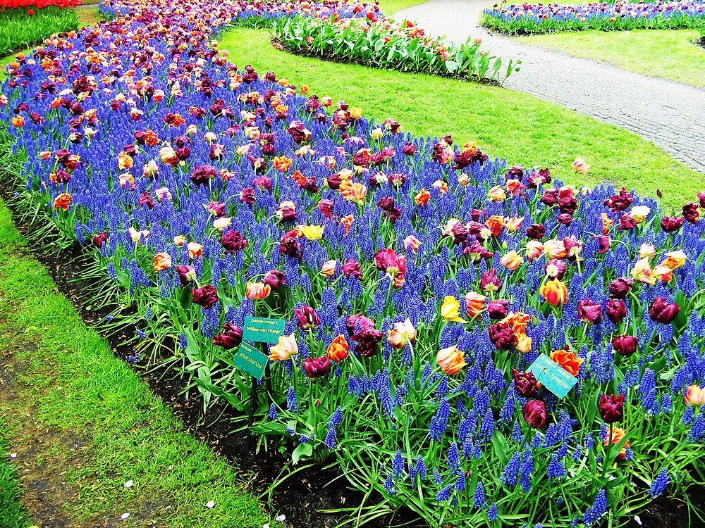 Spring bedding scheme with tulips and muscari