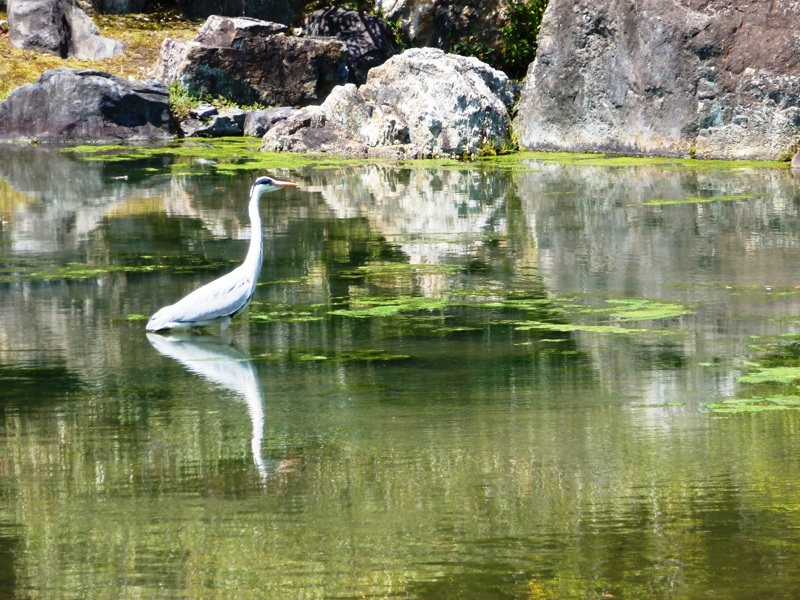 Heron, Nijo Castle Kyoto, Japan