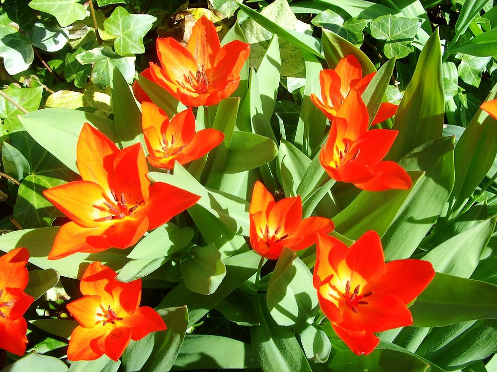 Tulipa praestans 'Fuselier'