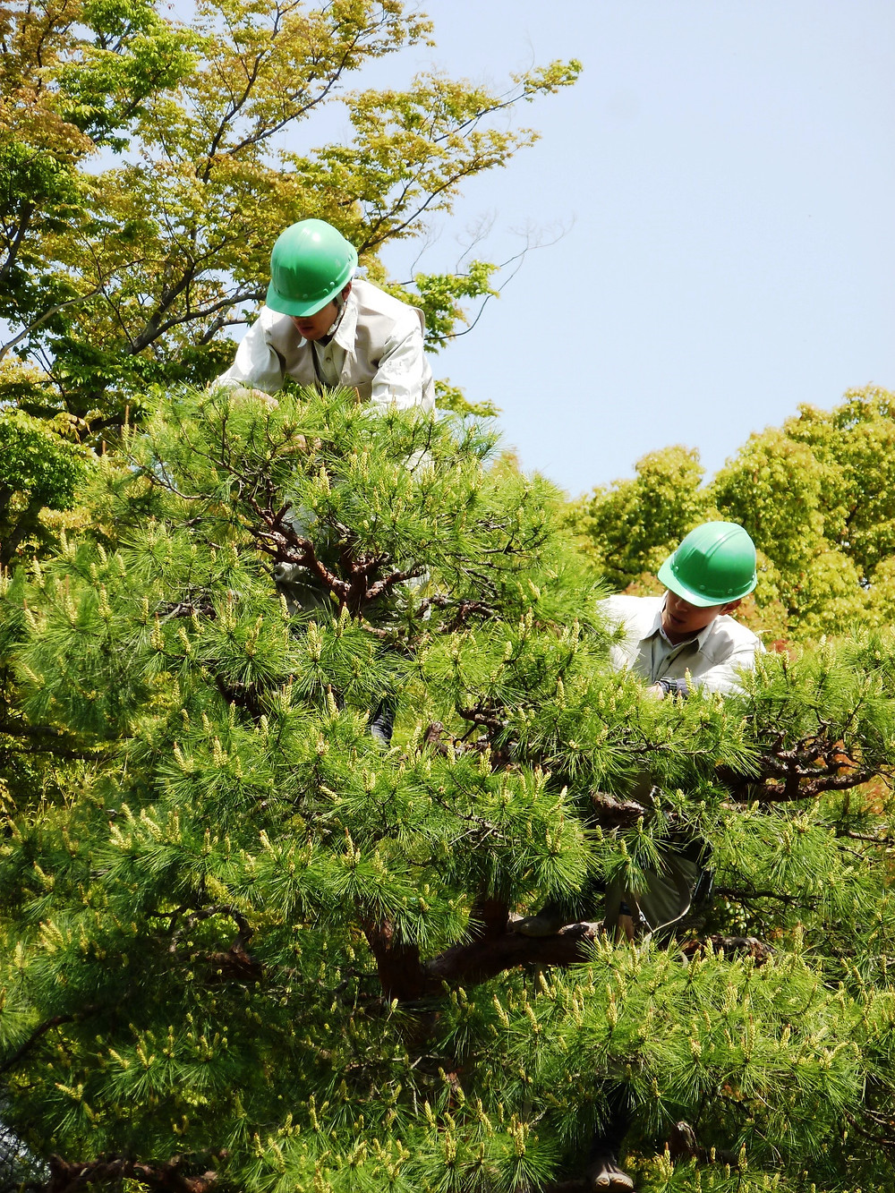 Could British arborists become niwaki masters?