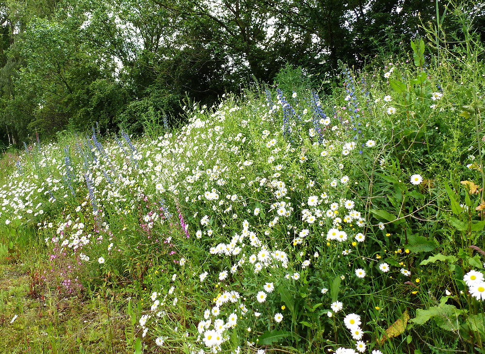 A sown wild flower area at the base of a hedgerow
