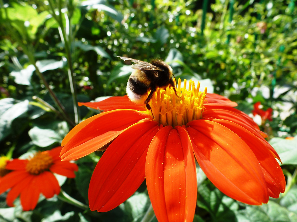 Buff-tailed Bombus on Tithonia at Giverny