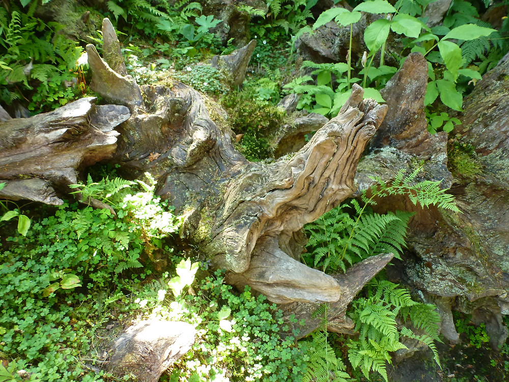 The 'Boar's Head' in the Stumpery