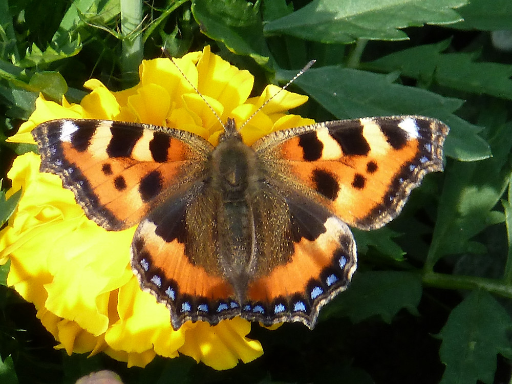 Small Tortoiseshell on Tagetes