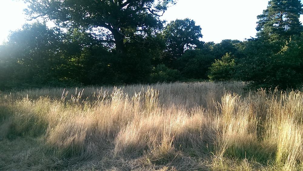 Long grass regime, Pope's Meadow, Bracknell