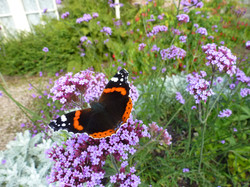 Red Admiral on Verbena