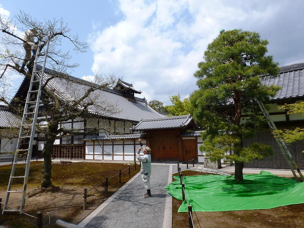 Niwaki master guiding expert pruners, Kyoto