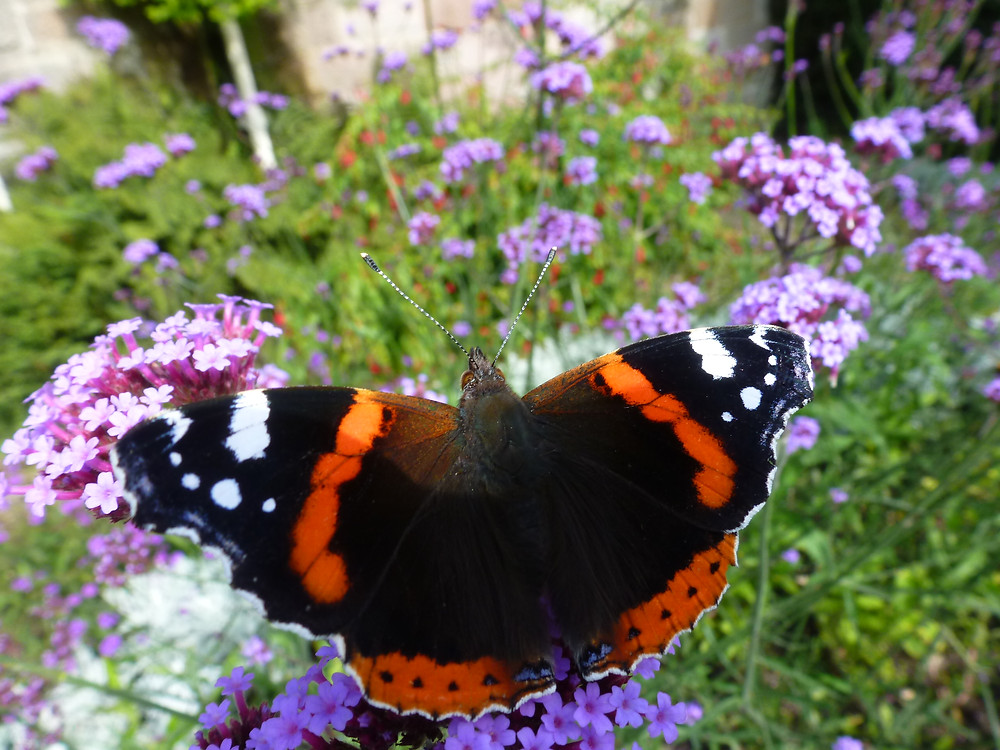 Red Admiral on Verbena, butterflies represent 2% of pollinating insects