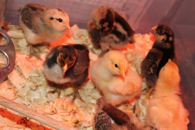 RAISING BACKYARD CHICKENS!          Part 1: Getting your chicks!