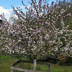orchardsthumb.jpg