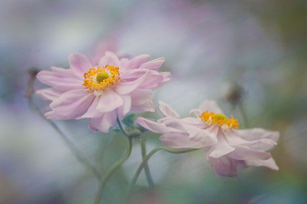 japanese anemones.jpg