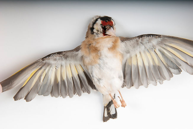 British Gold Finch Photography Birds Wildlife Taxidermy Dead Birds Studio Animals