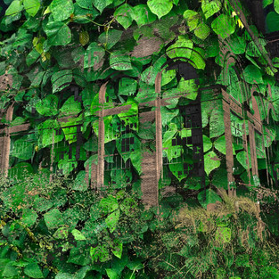 Brick building with ivy