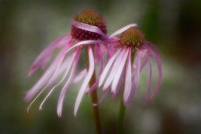 echinaceas.jpg