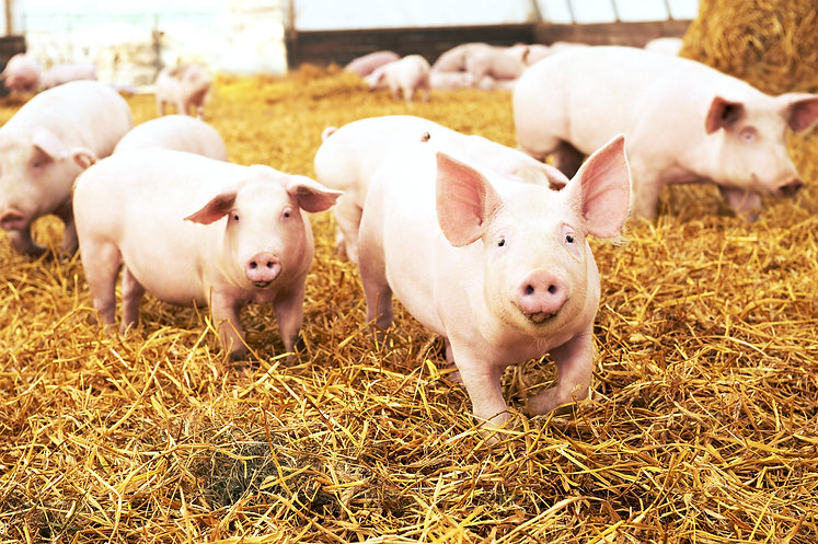 herd of young piglet on hay and straw at