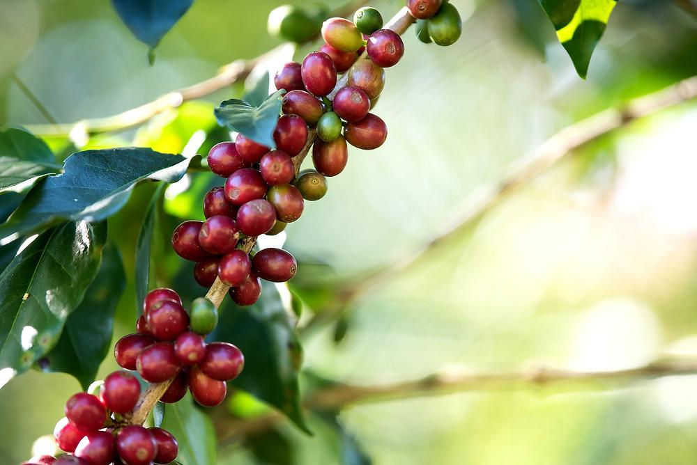 finest gourmet Kaffee Kaffeeherstellung