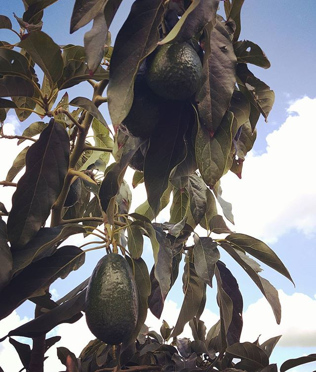 Spectacularly dark-green shiny #baconavocado on the #avotree ._