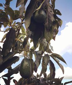 Spectacularly dark-green shiny #baconavocado on the #avotree ._