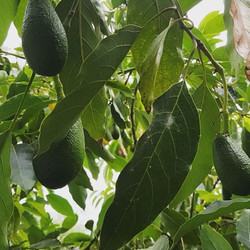Nothing beats walking beneath the avo trees as the Levante wind pushes through the branches.._