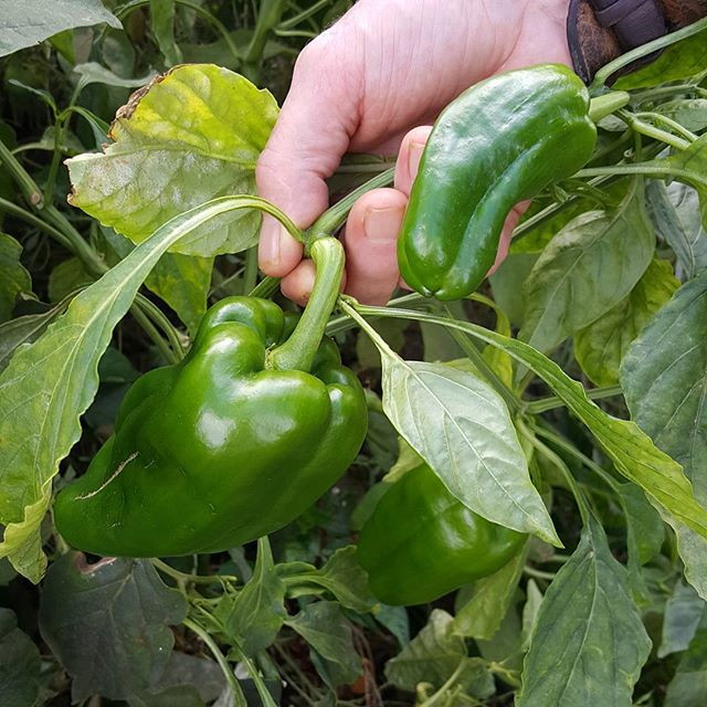 Last of the peppers... 💚_._