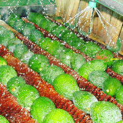 Our gorgeous, full-bodied, delicious hass avocados, which were picked only hours ago, being washed w