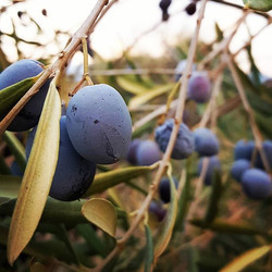 Olives the colour of plums 😍_._