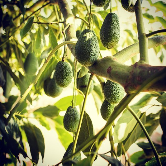 Hass avocados on the tree that will be ready for harvest within two months._