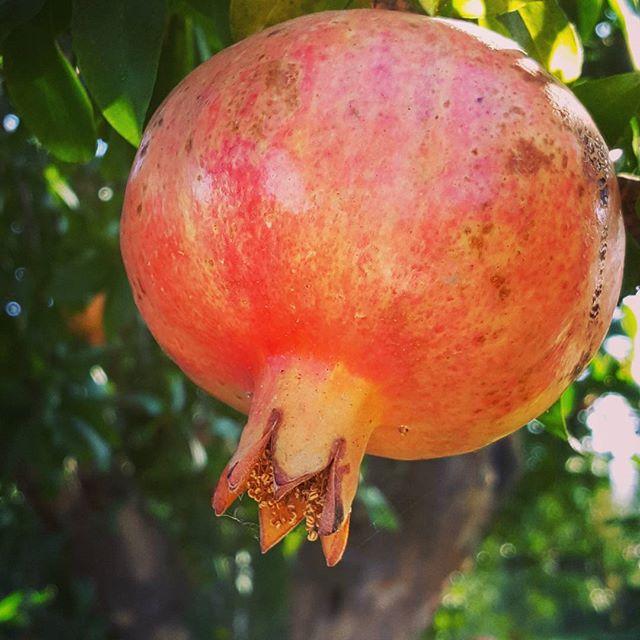 Juicy #pomegranate on the #tree 🌳_._
