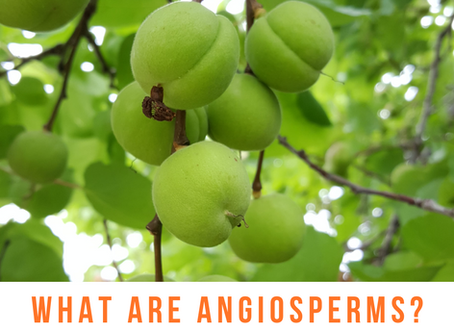 What are angiosperms?