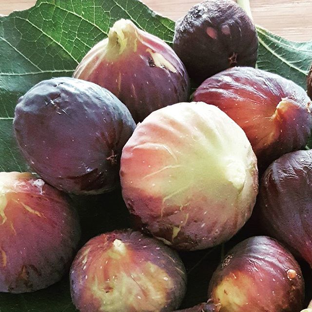 Look what I found whilst on my morning walk ! Delicious sun-ripened figs 💜 on our fig trees !_Natur