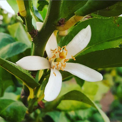 Flowering #lemon #trees 🍋 have the sweetest scent 🌼_._