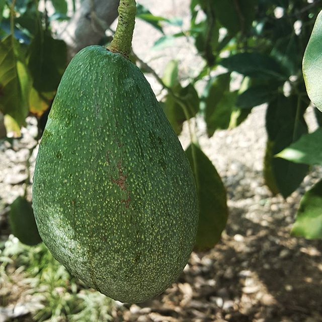 Called #fuerte because it is a hardy #avocadotree that can withstand the cold nights of winter._._