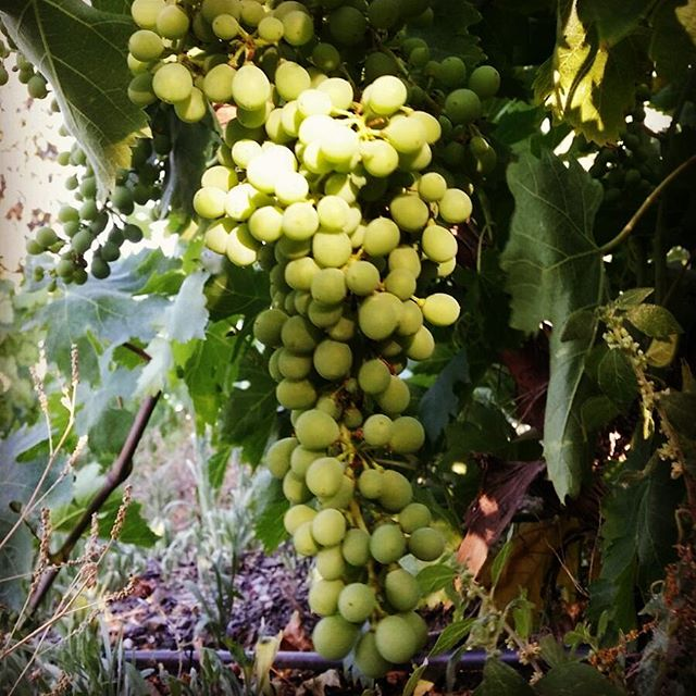 Moscatel grapes on the vine from which we will make our sweet white wine this autumn._