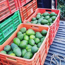 Loading up the crates filled with hass avocados._
