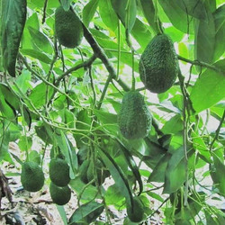 🥑Avo, 🥑avo in the tree_Grow as tasty as can be ! ._