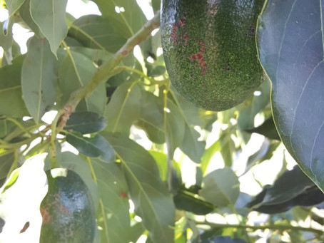 So here's a question - how do we know when the avocados are ready to be picked?