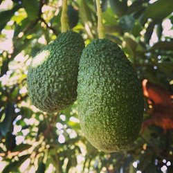 Beautiful #hassavocado growing more succulent by the day 💚🥑💚🥑💚_._