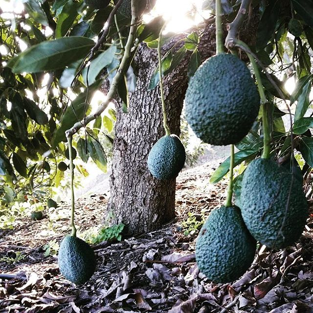 Hass avocados ready for harvest._