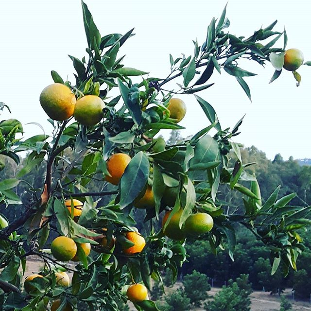 Mandarins gently changing colour. A #shift in time, a shift in perception, a shift in essence 🍊⏳_._