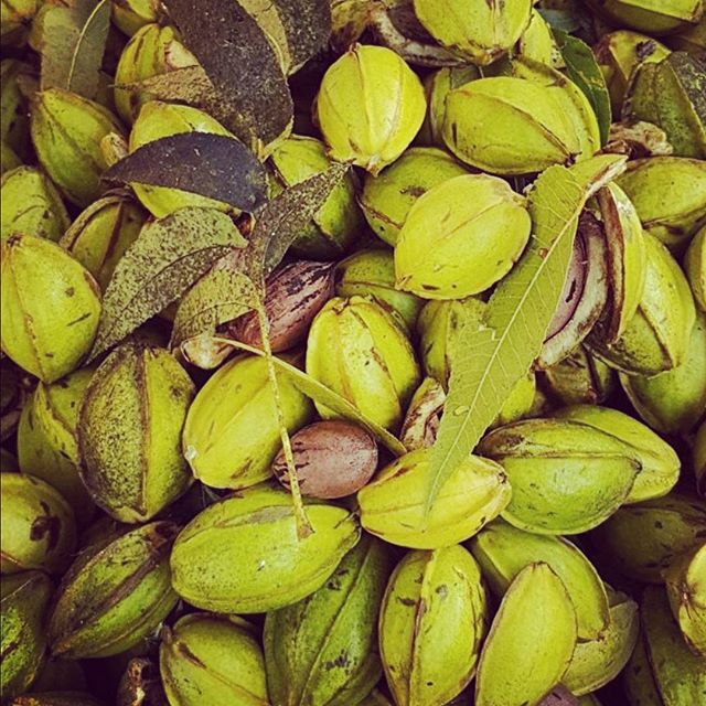 The word #pecan comes from the #Native #American #Algonquin meaning #nuts requiring a stone to crack